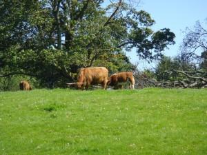 Хайлендские коровы, Старый Скон.