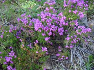 цветущий вереск, Кэрнгормс