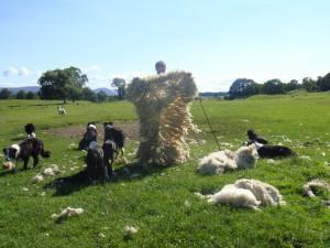 свежестриженная овечья шуба