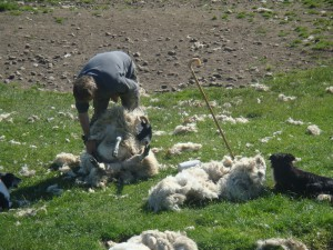 стрижка овцы в естественных условиях