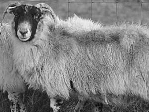 старейшая овца, Твигги, погибла в Шотландии сорвавшись с утеса
