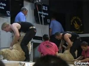 кадр с чемпионата по стрижке овец